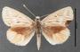Synemon collecta F dorsal habitus