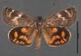 Synemon parthenoides dorsal habitus