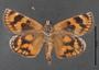 Synemon parthenoides ventral habitus