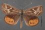 Synemon collecta A dorsal habitus