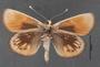 Synemon collecta A ventral habitus