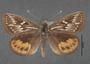 Synemon collecta B dorsal habitus