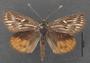 Synemon collecta C dorsal habitus
