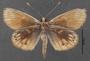 Synemon collecta C ventral habitus