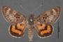 Synemon laeta B dorsal habitus