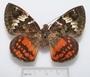 Feschaeria amycus dorsal habitus