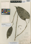 Schefflera piperoides Elmer, Philippines, A. D. E. Elmer 7929, Isotype, F