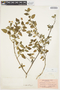 Solanum douglasii image