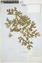 Solanum heterodoxum image