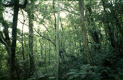 An example of montane forest on Mount Isarog. [Copyright] Field Museum of Natural History - CC BY-NC