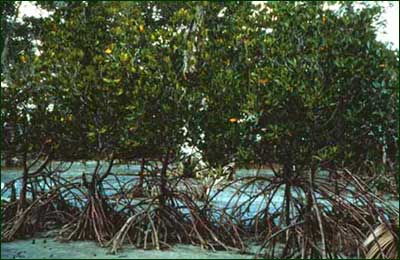 Mangrove forest can be found in coastal areas where sea water and fresh water mix. Due to the influx of organic material in the waters, biological productivity here is very high. [Copyright] Field Museum of Natural History - CC BY-NC
