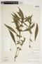 Hygrophila costata Nees & T. Nees, Peru, J. Schunke Vigo 3105, F