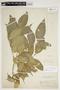 Trischidium alternum (Benth.) H. E. Ireland, PERU, F