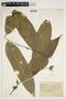 Swartzia auriculata Poepp., BRAZIL, F