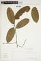Swartzia auriculata Poepp., PERU, F