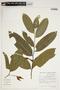 Swartzia auriculata Poepp., Brazil, I. L. Amaral 69, F