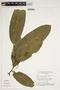 Swartzia auriculata Poepp., Brazil, G. T. Prance 16243, F
