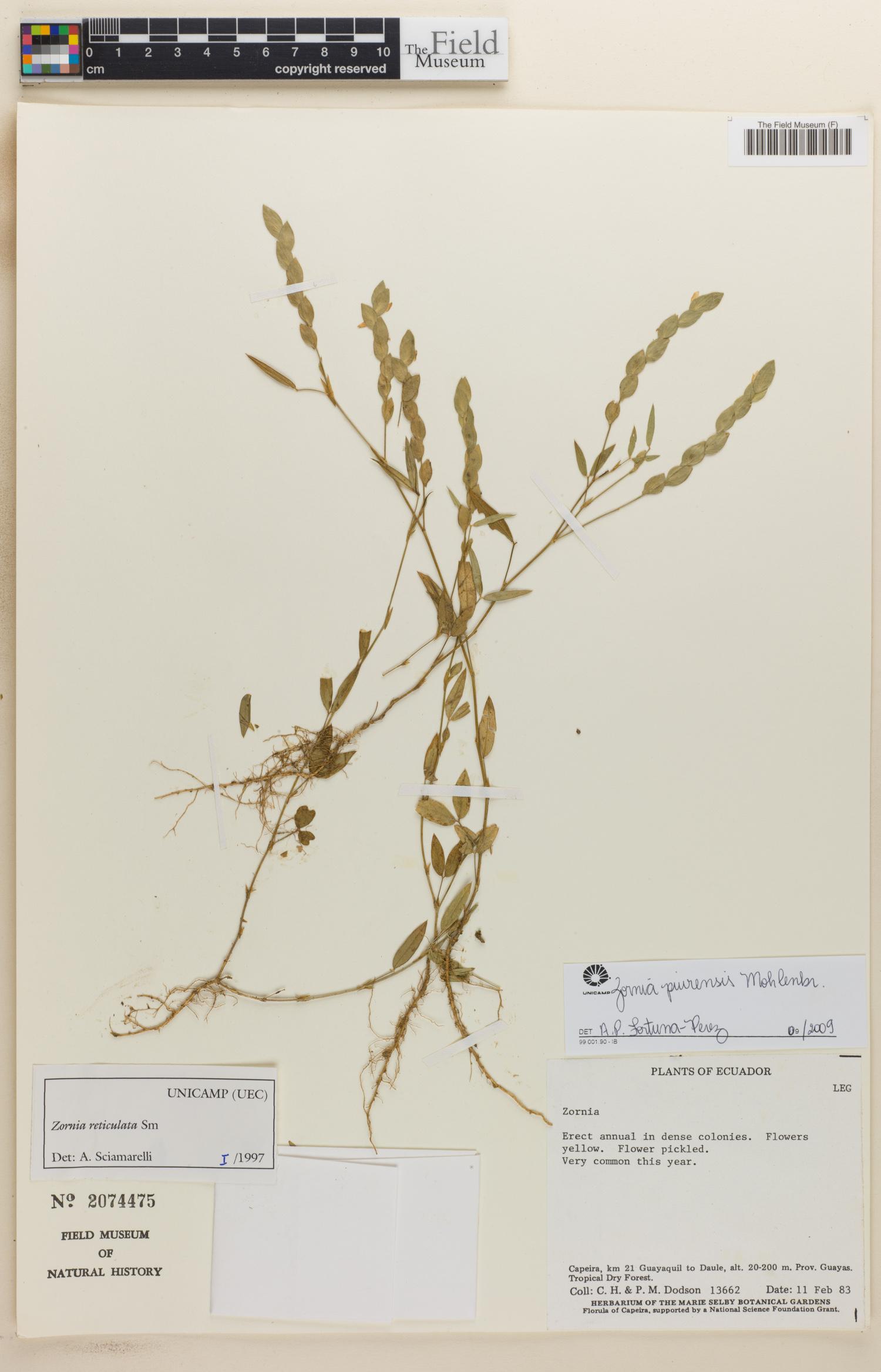 Zornia piurensis image