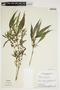 Hygrophila costata Nees & T. Nees, Brazil, H. S. Irwin 26260, F