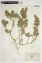 Blechum pyramidatum (Lam.) Urb., Ecuador, M. Acosta Solis 10593, F