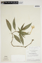 Hygrophila costata Nees & T. Nees, Brazil, H. S. Irwin 15122, F