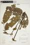 Tapirira guianensis Aubl., Ecuador, D. Irvine DI826, F
