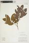 Tapirira guianensis Aubl., Brazil, C. A. Cid Ferreira 6492, F