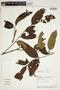 Tapirira guianensis Aubl., Bolivia, A. H. Gentry 73716, F