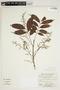 Tapirira guianensis Aubl., Bolivia, A. Cruz 176, F