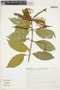Combretum fruticosum (Loefl.) Stuntz, Brazil, F. Chagas 1491, F