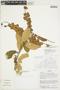 Combretum cf. fruticosum (Loefl.) Stuntz, Bolivia, I. G. Vargas C. 2658, F
