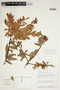 Orthaea bullata N. R. Salinas & Pedraza, Peru, R. B. Foster 7584, F
