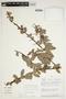 Orthaea bullata N. R. Salinas & Pedraza, Peru, R. B. Foster 7579, F