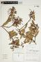Orthaea cf. bullata N. R. Salinas & Pedraza, Peru, D. N. Smith 7592, F