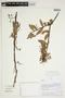 Orthaea bullata N. R. Salinas & Pedraza, PERU