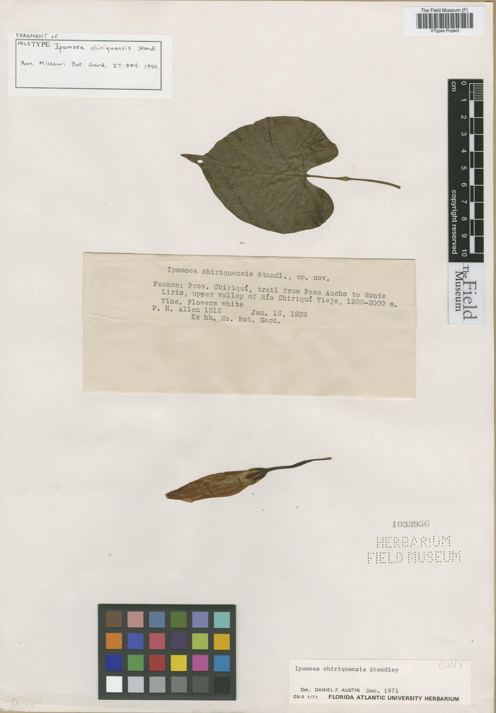 Specimen: Ipomoea chiriquensis