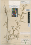 Aeschynomene americana var. depila Millsp., MEXICO, G. F. Gaumer 955, Holotype, F