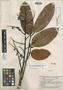 Andira grandistipula Amshoff, BRITISH GUIANA [Guyana], B. Maguire 23273, Isotype, F