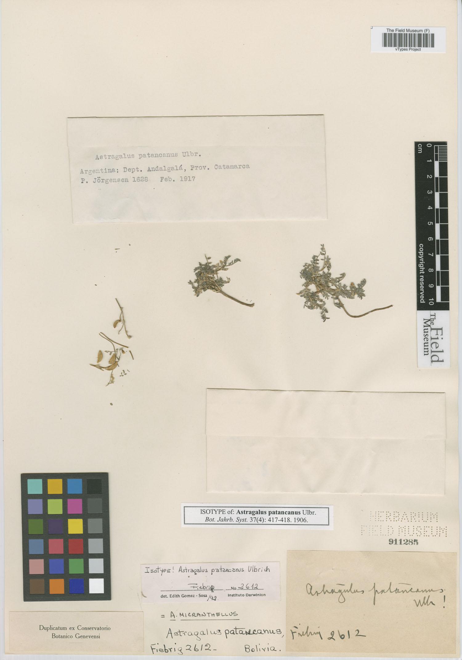 Astragalus micranthellus image