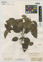 Etaballia guianensis Benth., BRITISH GUIANA [Guyana], Schomburgk 706, Isotype, F