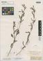 Indigofera pascuorum Benth., BRITISH GUIANA [Guyana], Schomburgk 96, Isotype, F