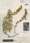 Lupinus antoninus image