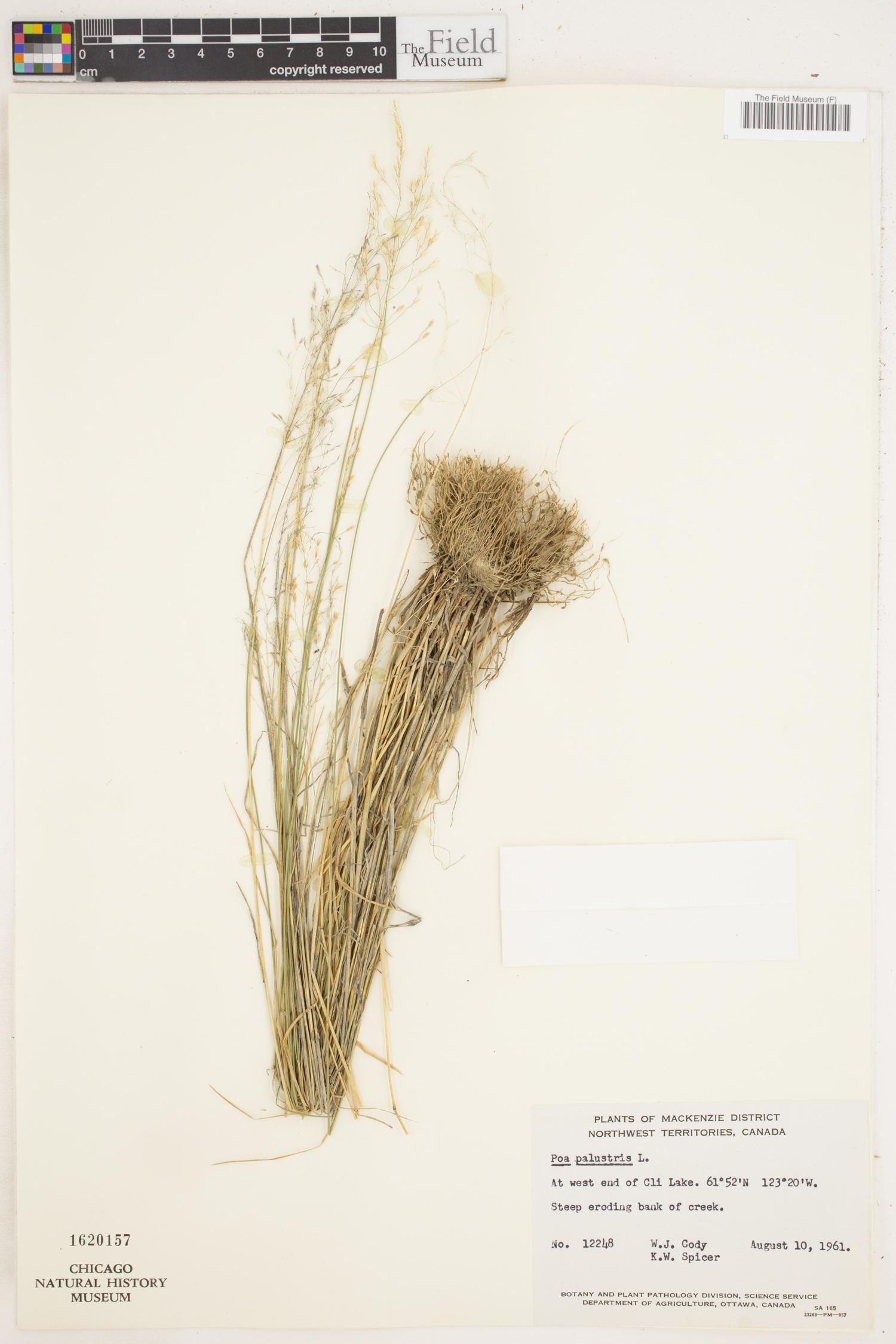 Poa palustris image