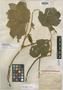 Pueraria calycina Franch., CHINA, P. J. M. Delavay 3590, Isotype, F