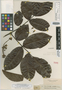 Swartzia latifolia Benth., BRITISH GUIANA [Guyana], R. H. Schomburgk 724, Isotype, F