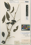 Swartzia microstylis Benth., BRITISH GUIANA [Guyana], R. H. Schomburgk 578, Isotype, F