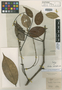 Swartzia schomburgkii Benth., BRITISH GUIANA [Guyana], R. H. Schomburgk 294, Isotype, F