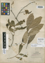 Quercus acapulcensis image