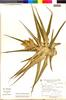Flora of the Lomas Formations: Tillandsia latifolia Meyen, Peru, A. Cano 5583, F