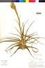 Flora of the Lomas Formations: Tillandsia latifolia Meyen, Peru, M. O. Dillon 3063, F